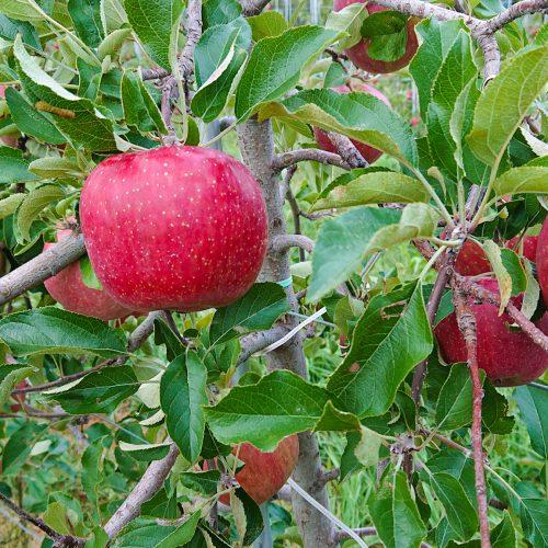 apple01